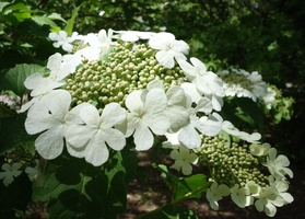 Viburnum sargentii 50 seeds Sargent Cranberry